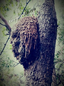 large_termite_mound_-_microcerotermes_[1]