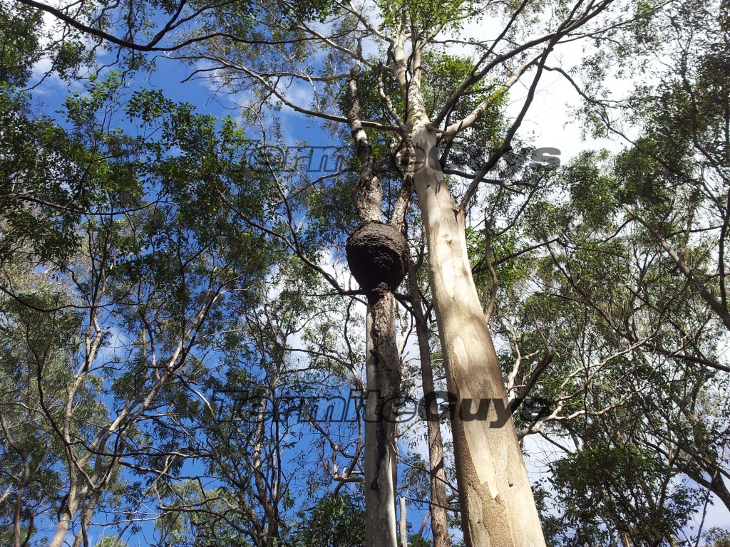NASUTITERMES Nest. Need one removed? Call us today.