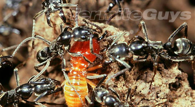 Black ants making lunch of a protein filled Termite