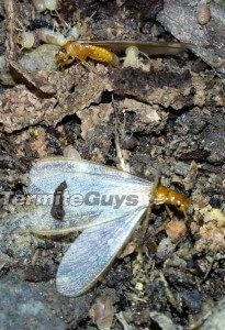 Termite Guys Brisbane - Flying-Termites-205x300