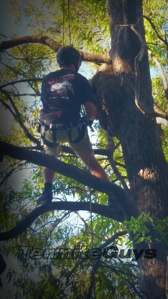 Termite Guys are nearly the only firm in Brisbane who tree climb.