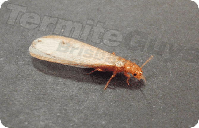 Termite Guys Brisbane  Protect homes from termites