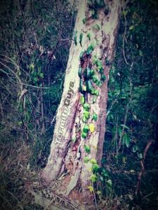 coptotermes_acinaciformis_in_gum_tree[1]