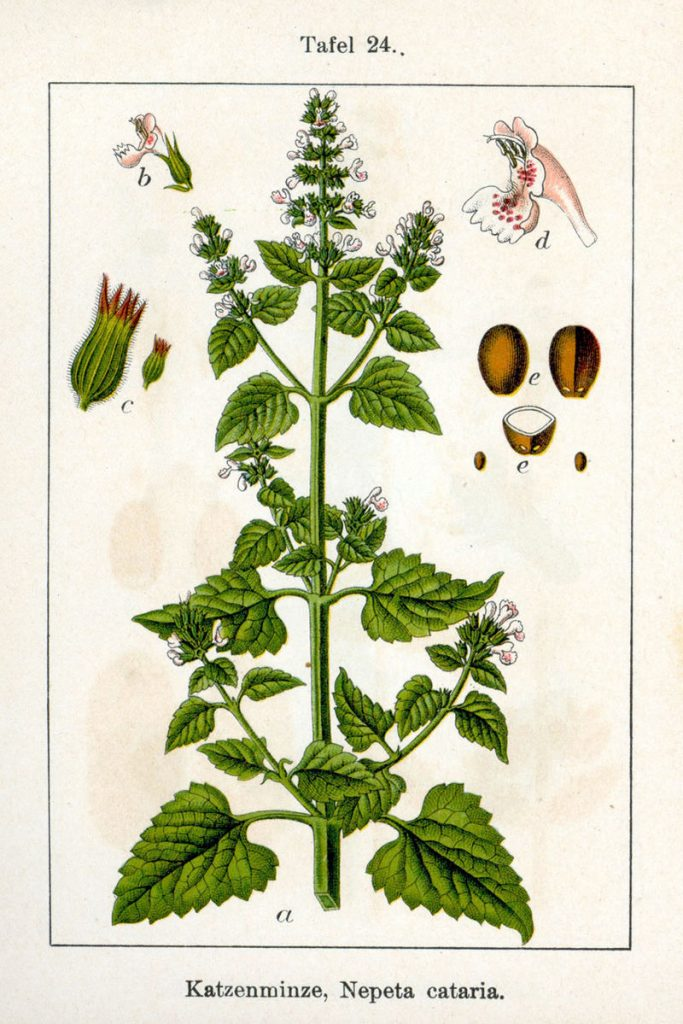 Plants that deter termites - Catnip
