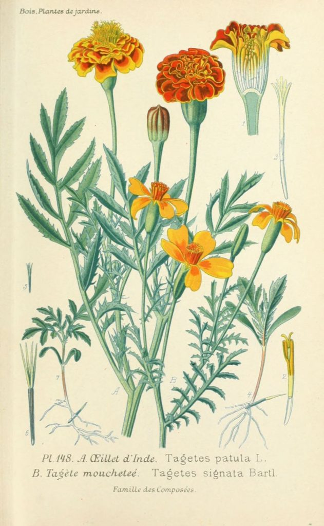 Plants that deter termites - Marigold