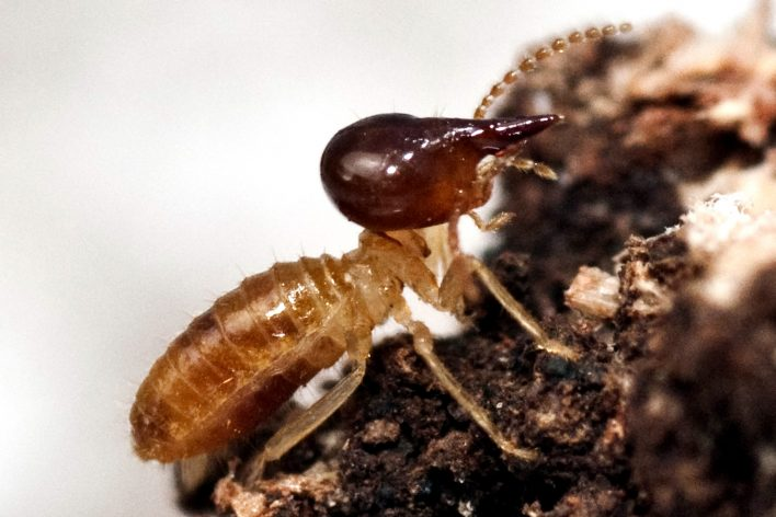 Nasutitermes Termite Species Soldier
