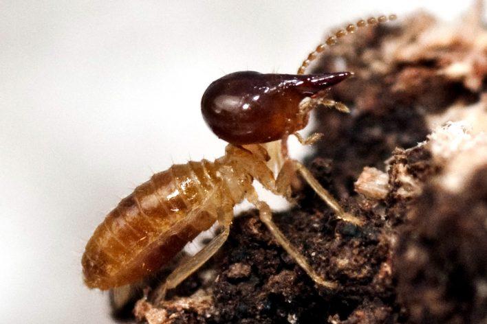 Nasutitermes Termite Species Soldier