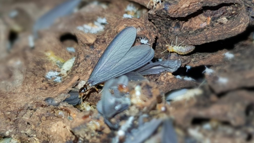 Flying Termites A Description Of A Key Member In The Termite Family
